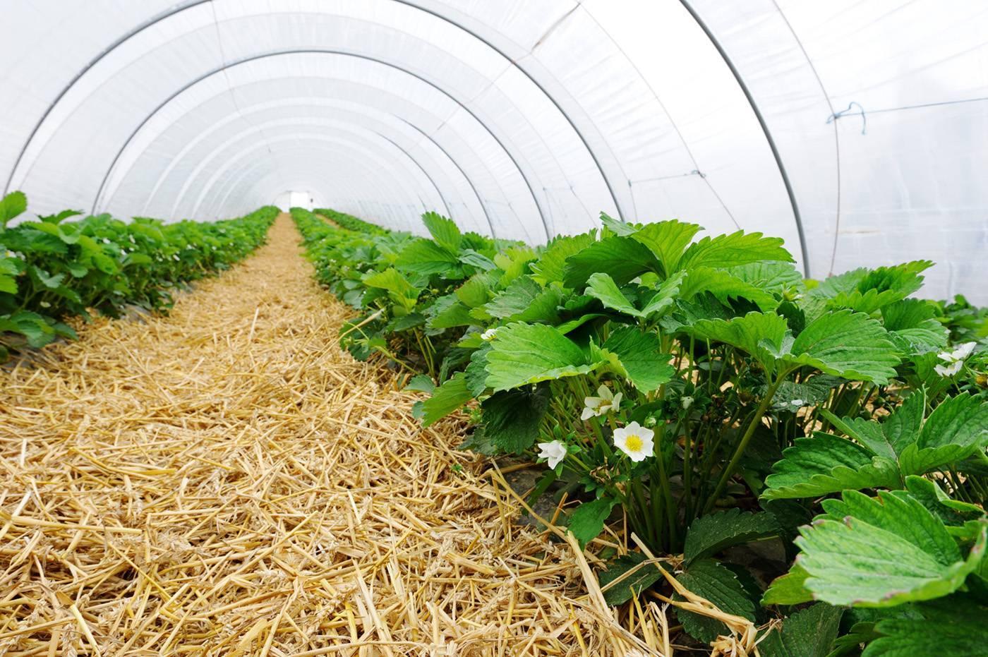 Выращивание крупноплодной садовой земляники (клубники) в теплице