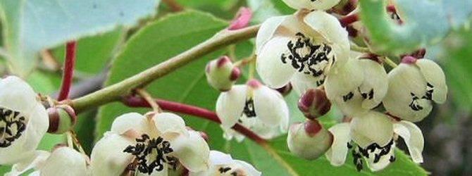 Ягода актинидия (actinidia): описание, фото и секреты выращивания