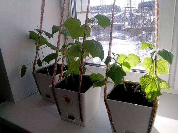 Сорт огурцов для выращивания на подоконнике зимой