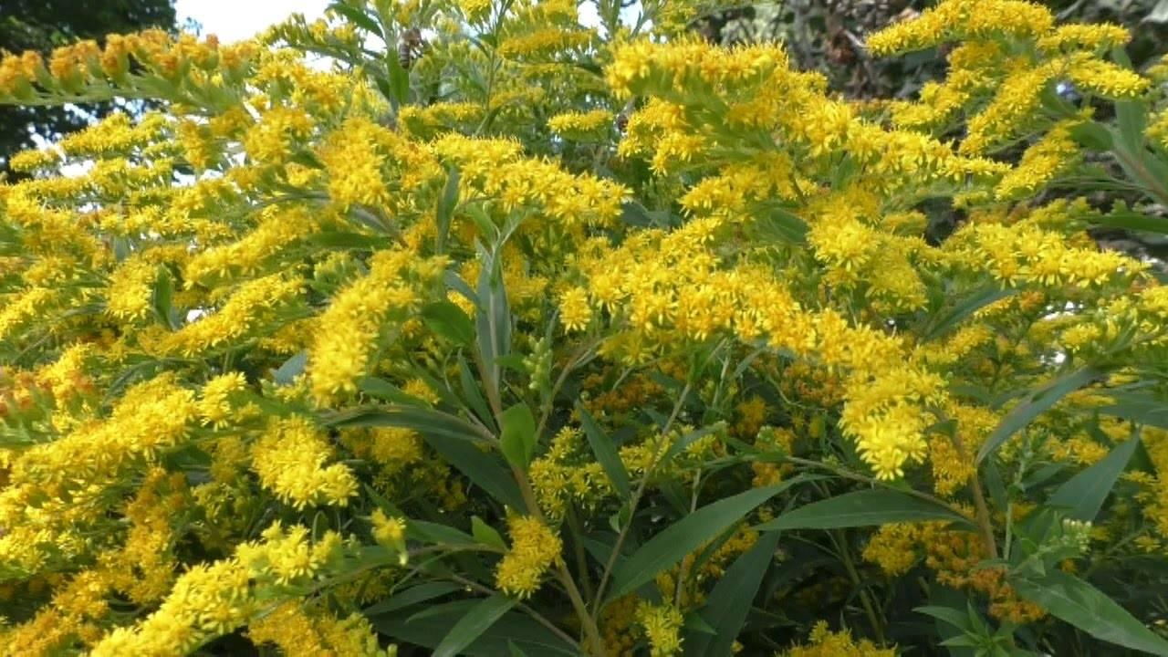 Яркая трава золотарник: полезные свойства и противопоказания к применению