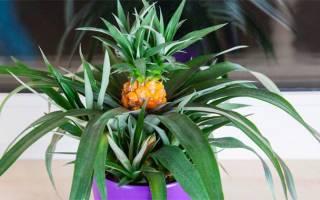 Как правильно выбрать ананас, порезать и какая польза для организма?