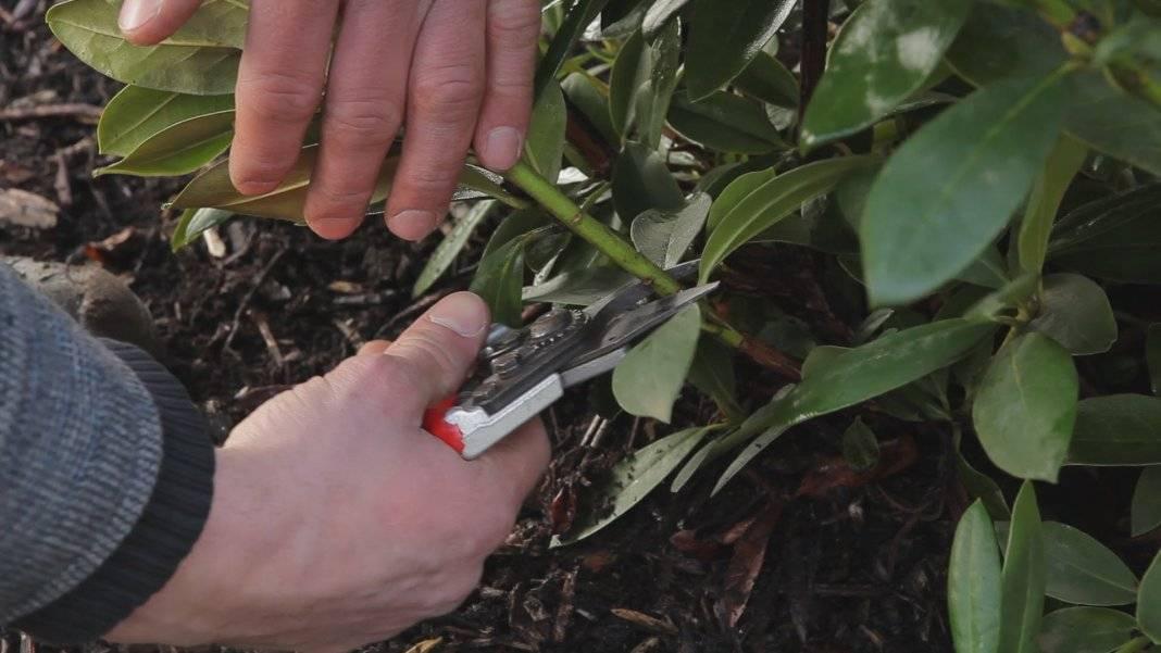 Рододендрон: фото, видео, методы размножения