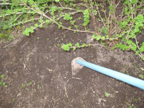 Калина: посадка и уход, обрезка и размножение