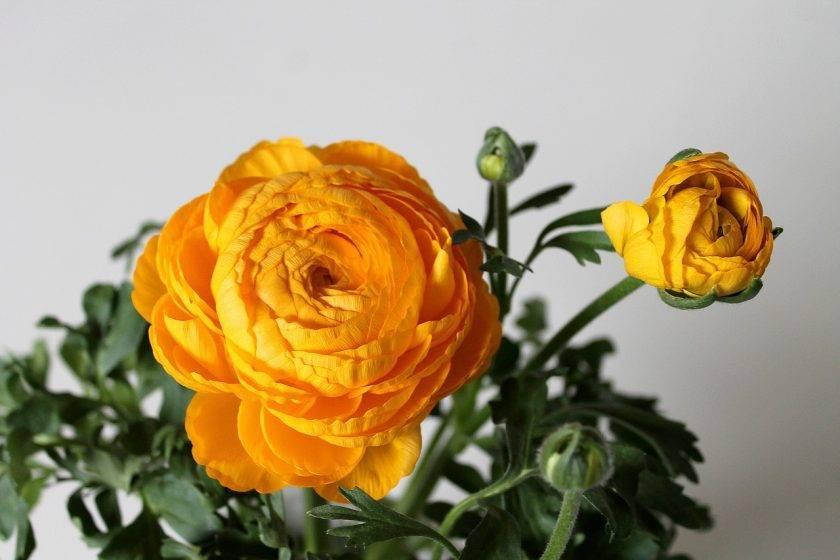 Выращиваем цветы лютики и их лучшие виды у себя на даче