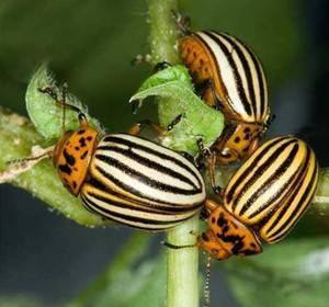 Инструкция по применению инсектицида карбофос