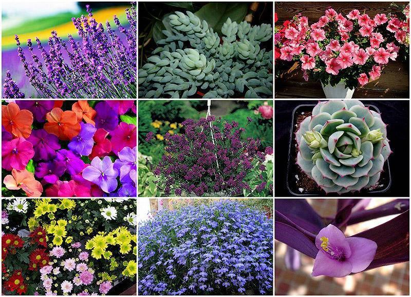 Виола из семян – все о выращивании рассады, посадке и уходе в открытом грунте