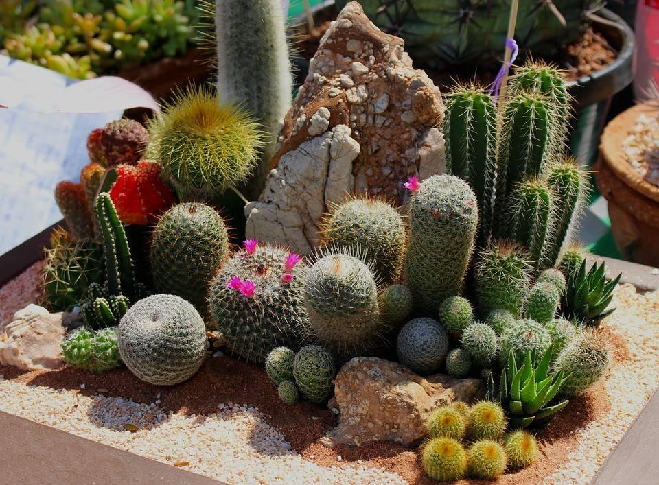 Какие виды кактусов нам известны и какие мы выращиваем дома