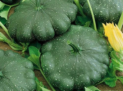 Патиссон: выращивание рассады из семян, посадка в открытый грунт и уход