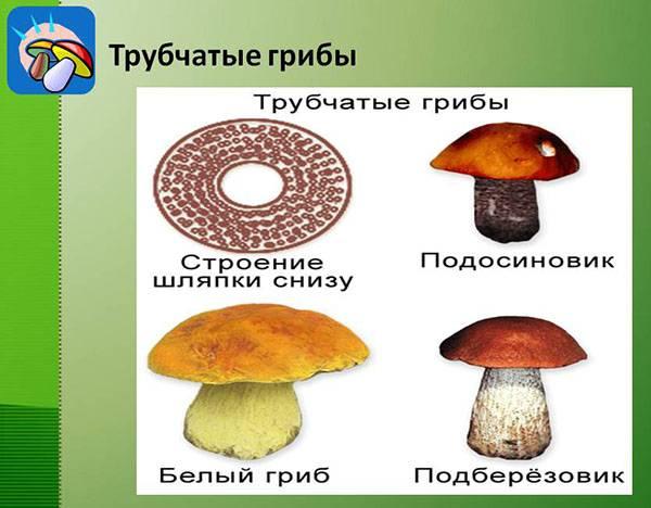 Виды белых грибов
