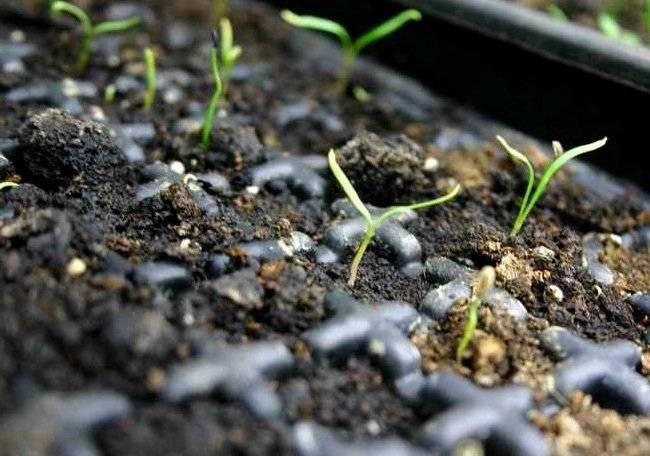 Как можно из семян и другими способами получить хороший урожай эстрагона? выращивание тархуна в домашних условиях
