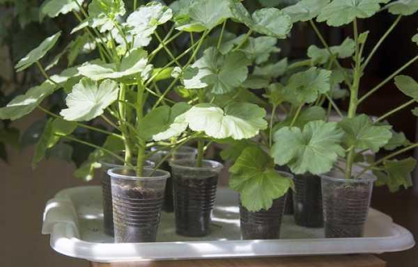 Герань из семян – выращиваем всеми любимый цветок