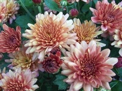 Черенкование хризантем: правила размножения в домашних условиях, как укоренить