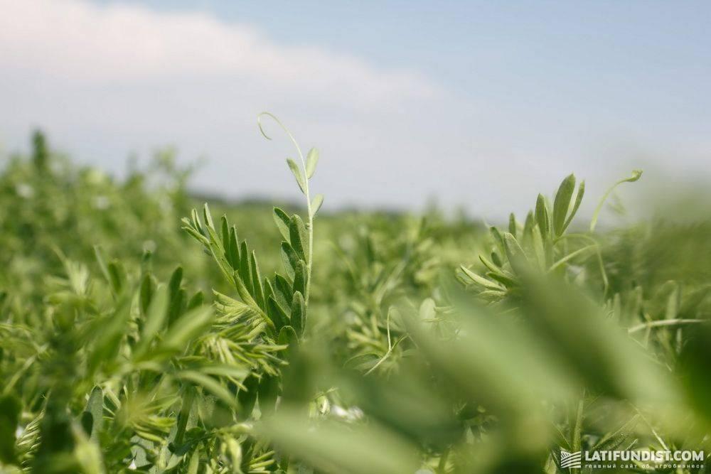 Выращивание чечевицы - советы по посадке. почва, посев. уход, лечение, профилактика заболеваний. сбор урожая