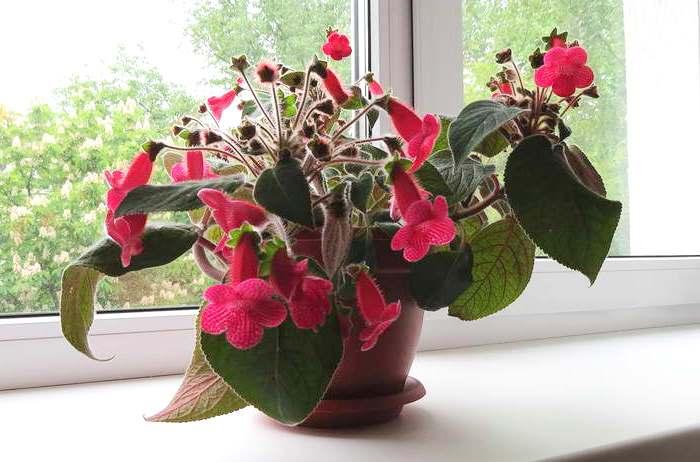 цветок колерия в домашних условиях, размножение, виды и сорта