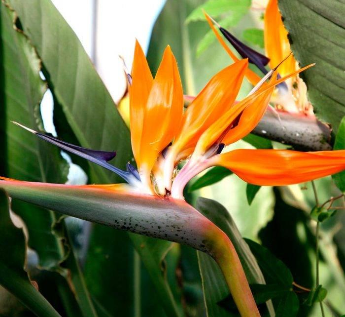 Как приманить цветочную райскую птицу: уход за стрелицией в домашних условиях