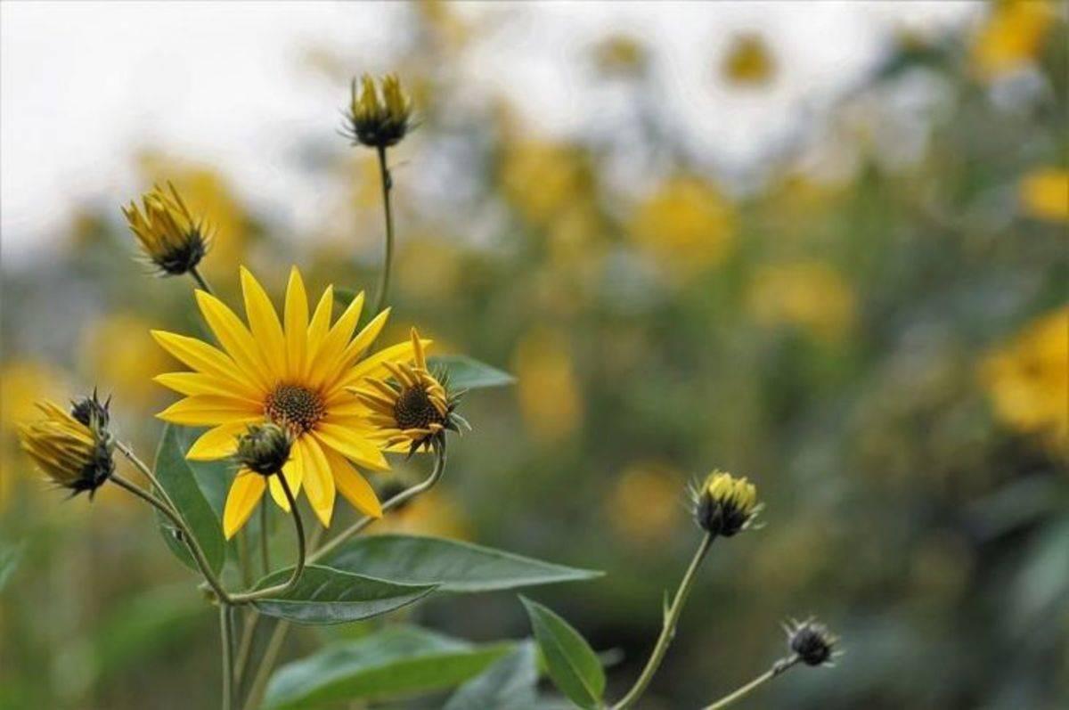 Посадка топинамбура. уход, сбор урожая и хранение клубней