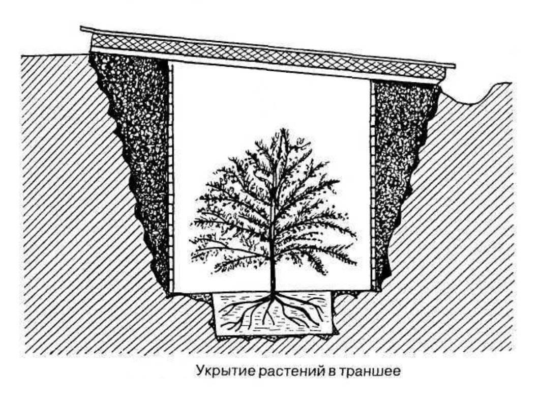 Унаби, зизифус, или китайский финик: самые популярные сорта экзотического растения