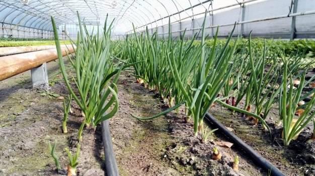 Как самостоятельно вырастить зеленый лук в теплице?