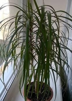 Почему чернеют листья драцены? как помочь растению восстановиться?