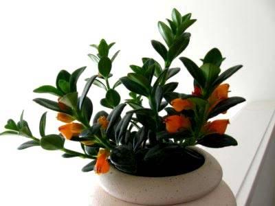 Разновидности цветка нематантус — уход в домашних условиях