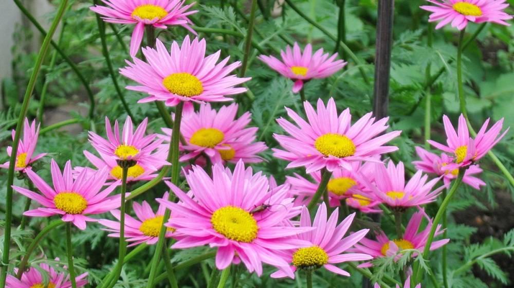 Утонченный пиретрум: особенности выращивания в своем саду