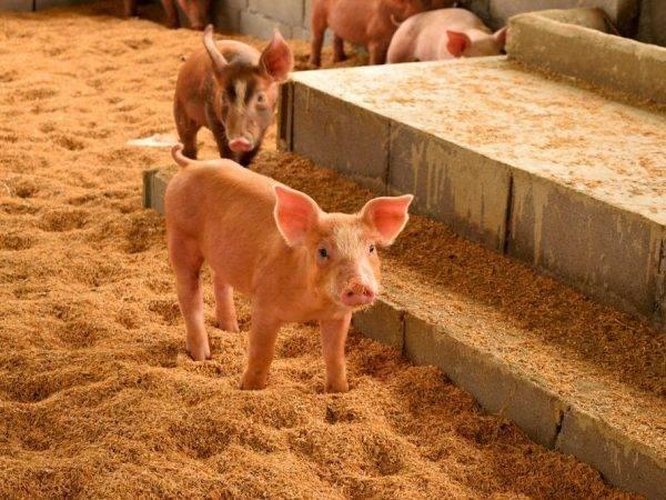 Несложное содержание вьетнамских свинок зимой
