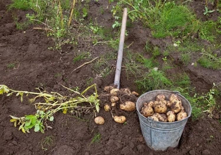 Благоприятные дни для посадки картофеля в 2020 году по луне