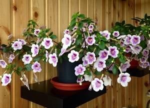 Ахименес: как вырастить очаровательного представителя бразильской флоры