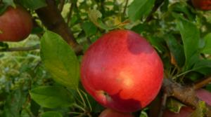 Слива венгерка: наиболее распространённые сорта и особенности выращивания