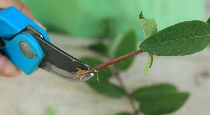 Как вырастить жимолость из семян?