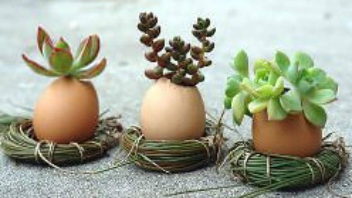 Органическое удобрение для комнатных цветов и огородных культур из яичной скорлупы