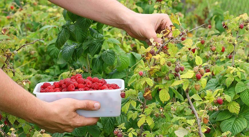 Эффективные способы вегетативного размножения малины