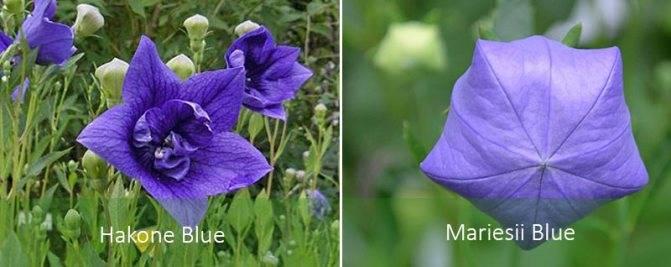 Выращивание платикодона начинается с выбора хороших семян