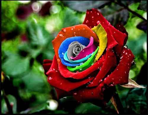 Садовая роза: как вырастить роскошный куст