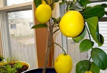 Самые неприхотливые цитрусовые комнатные растения. виды цитрусовых комнатных растений