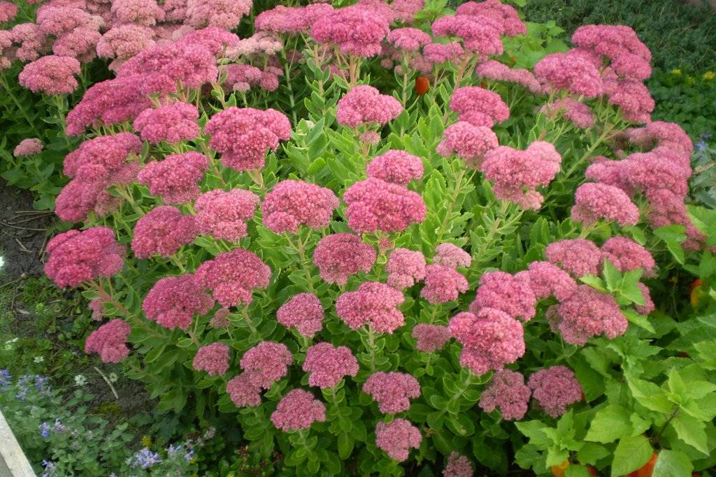 Очиток  или седум: популярные виды и сорта с фото, особенности выращивания и ухода за цветами