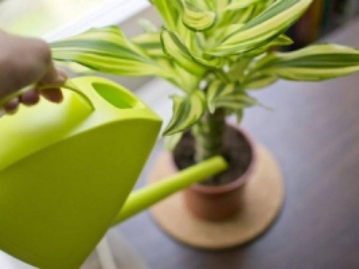 Драцена — уход в домашних условиях и выращивание в горшке