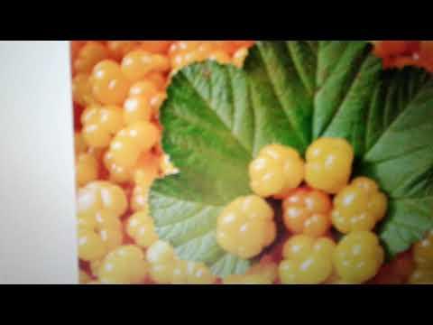 Лечебные свойства и противопоказания зопника