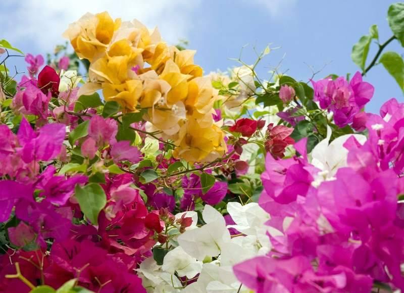 Уход за бугенвиллией в домашних условиях, топ-12 сортов и выращивание