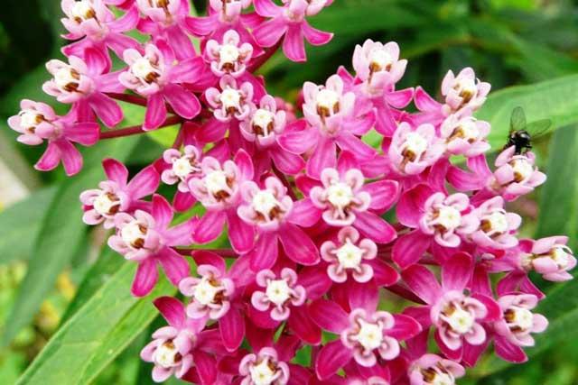 Цветок ваточник: правила посадки и ухода за растением
