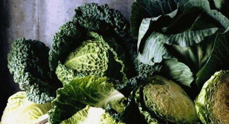 Кратко о выращивании савойской капусты и ее использовании