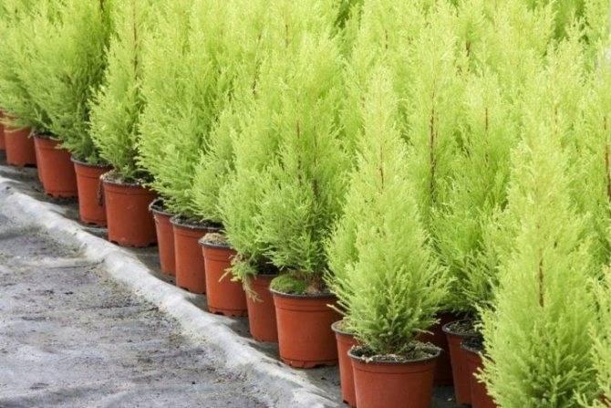 Стратификация семян кипариса в домашних условиях. кипарис: как выращивать растение в условиях комнат. комнатный кипарис: общее описание
