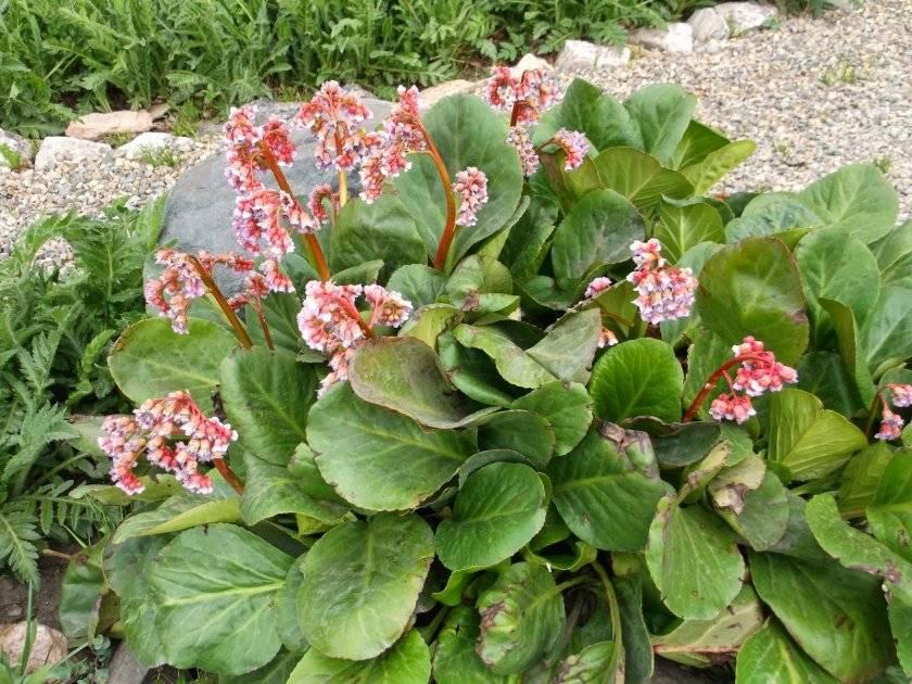 Бадан сердцелистный: описание, сорта, выращивание, размножение