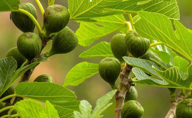 Земляничное дерево (арбутус) – посадка, выращивание, уход