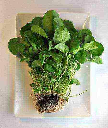 Кресс-салат – выращивание на подоконнике