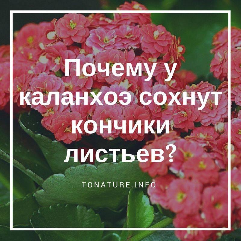 Каланхоэ: почему у дерева жизни желтеют и сохнут листья?