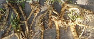 Все особенности выращивания хрена: посадка и уход в открытом грунте