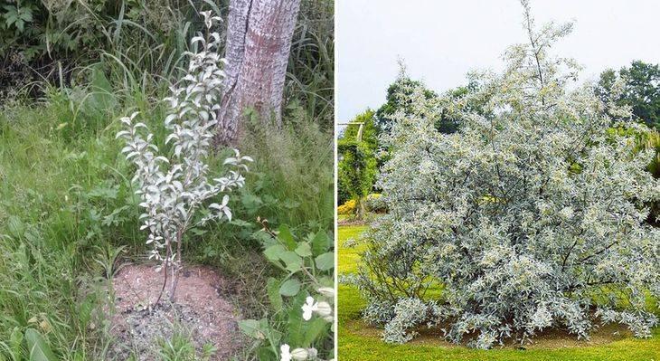 Лох многоцветковый— выращивание и уход