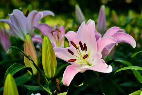 Как и чем подкормить лилии в саду для пышного цветения