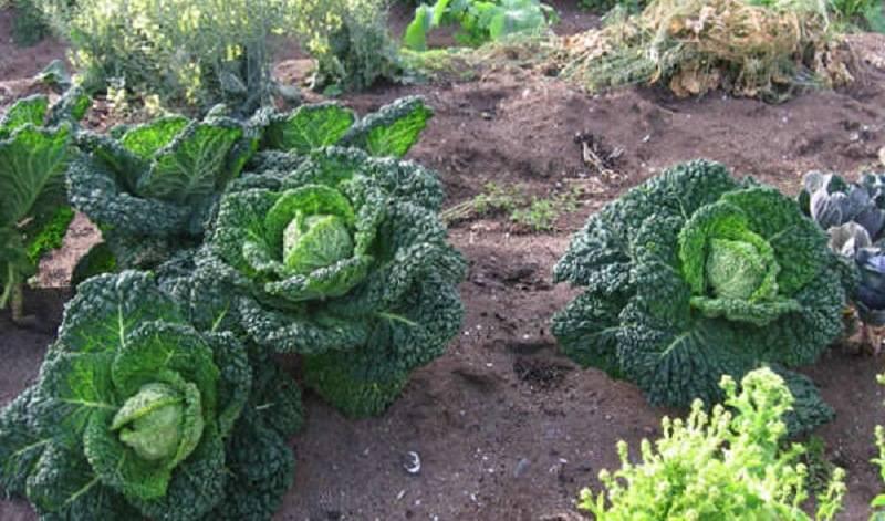 Выращивание и уход за савойской капустой в теплице и открытом грунте. фото культуры